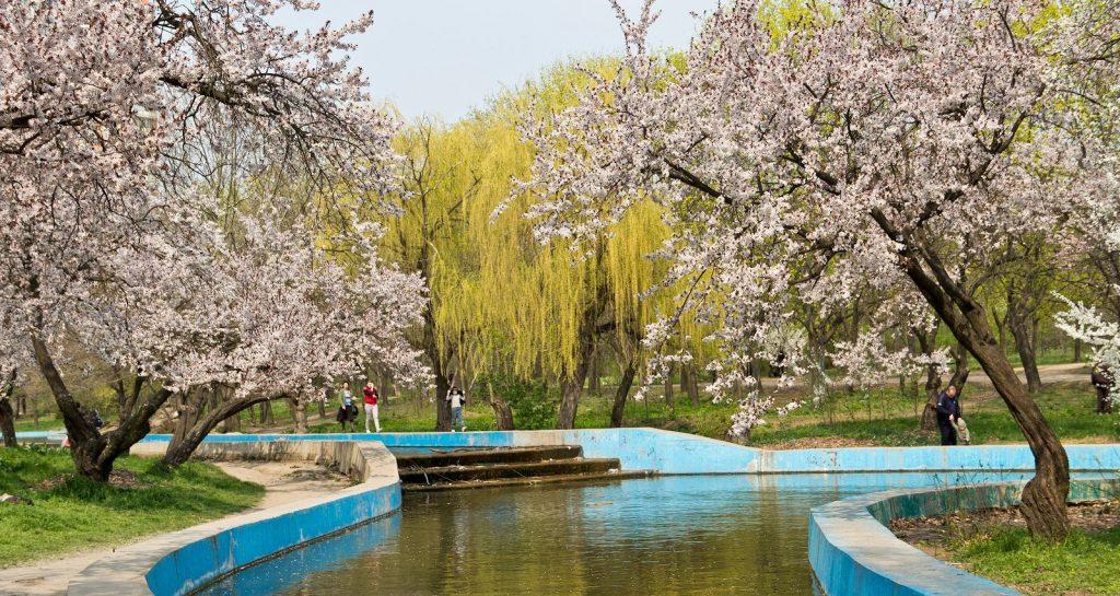 Парк победы засажен вишнями и плакучими ивами.
