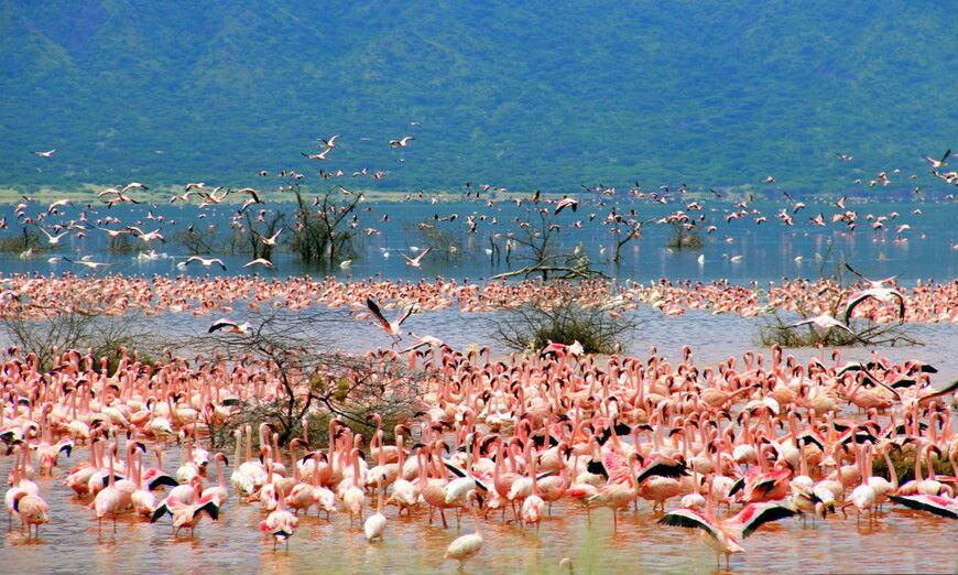 Любоваться грациозными фламинго на озере Богория можно часами напролет.