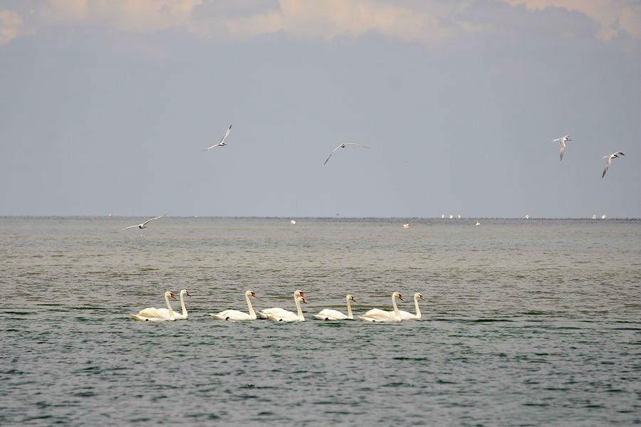 Лебеді біля берегів Чорноморського біосферного заповідника