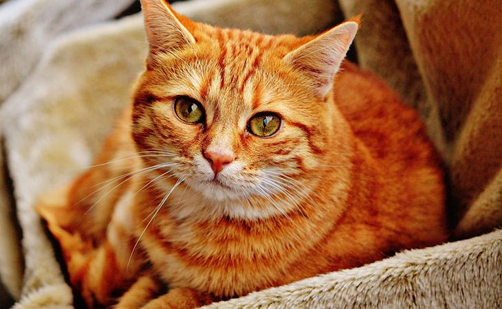 Руда кішка