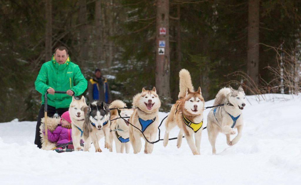 Взимку туристи Буковеля можуть покататися на собачій упряжці