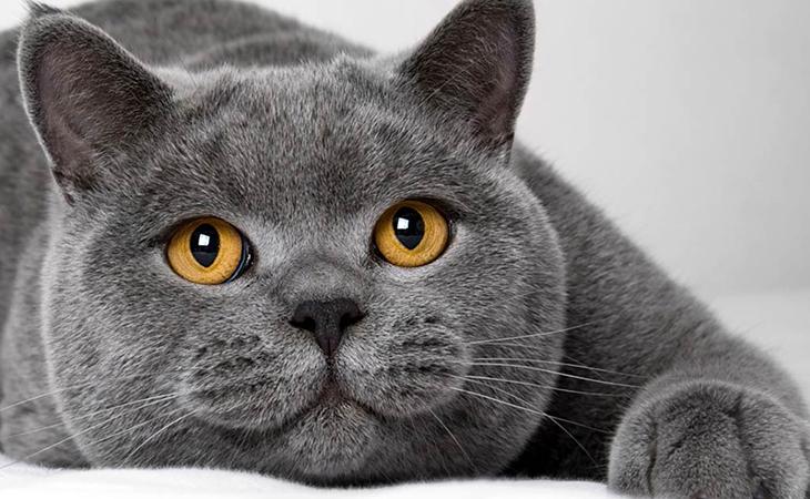 Кот британской породы