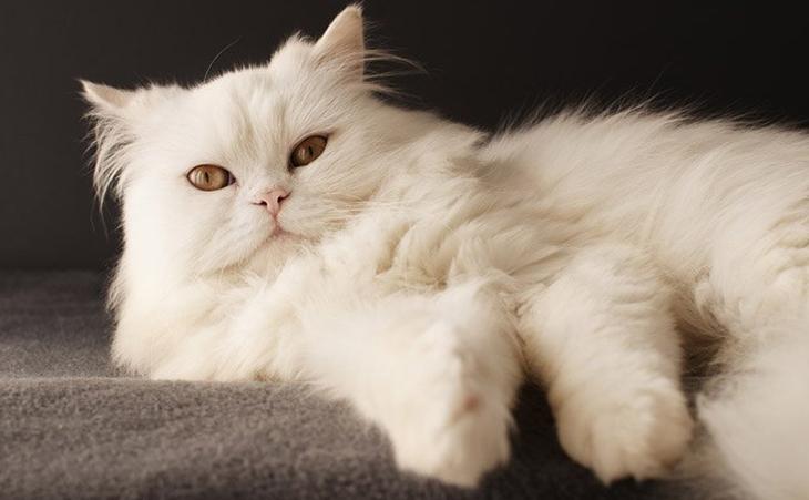Перський кіт