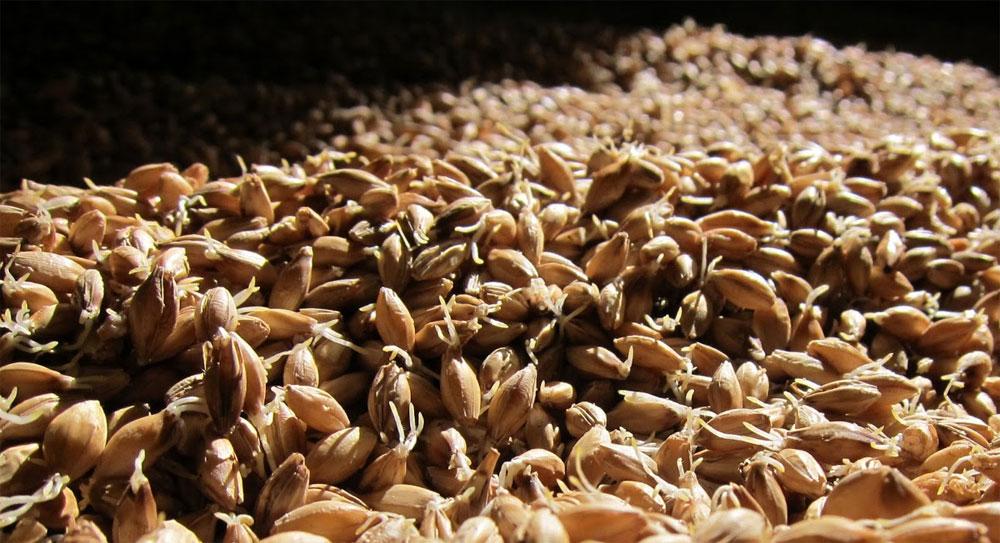 Пророщенное зерно (солод)