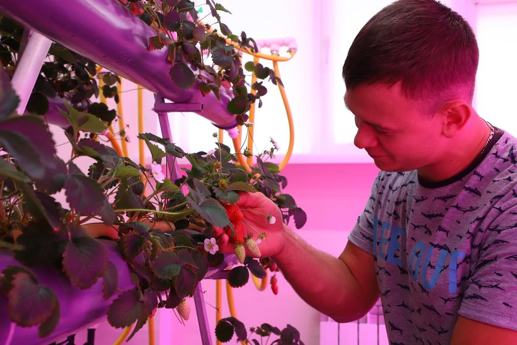 Выращивание клубники: метод гидропоники