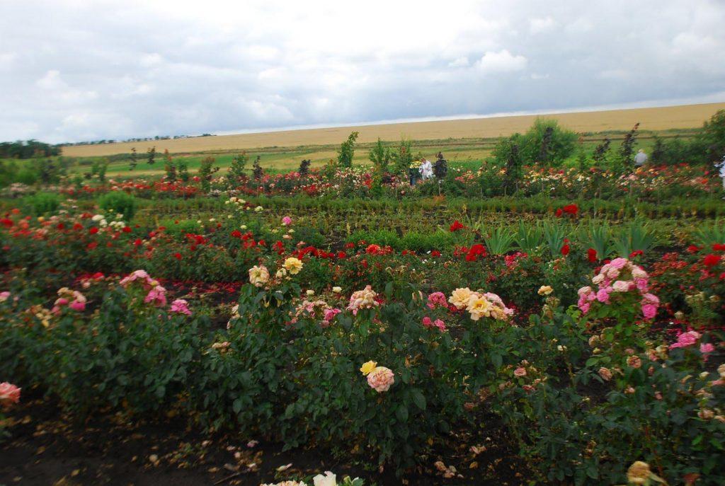 Республика роз