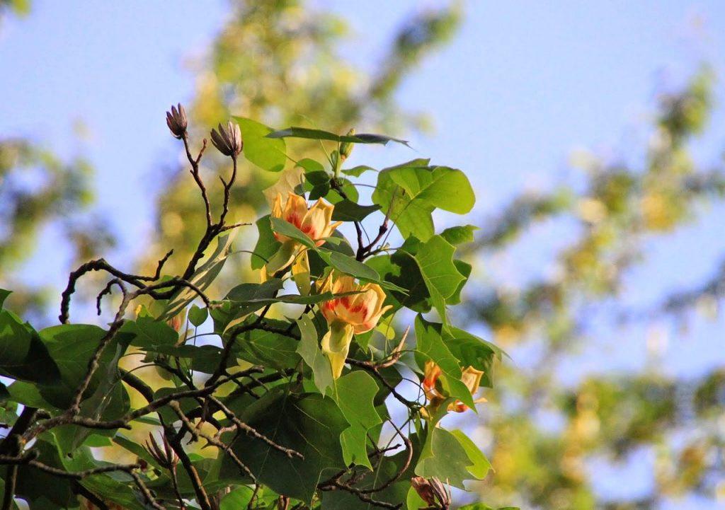 Цветы тюльпанового дерева