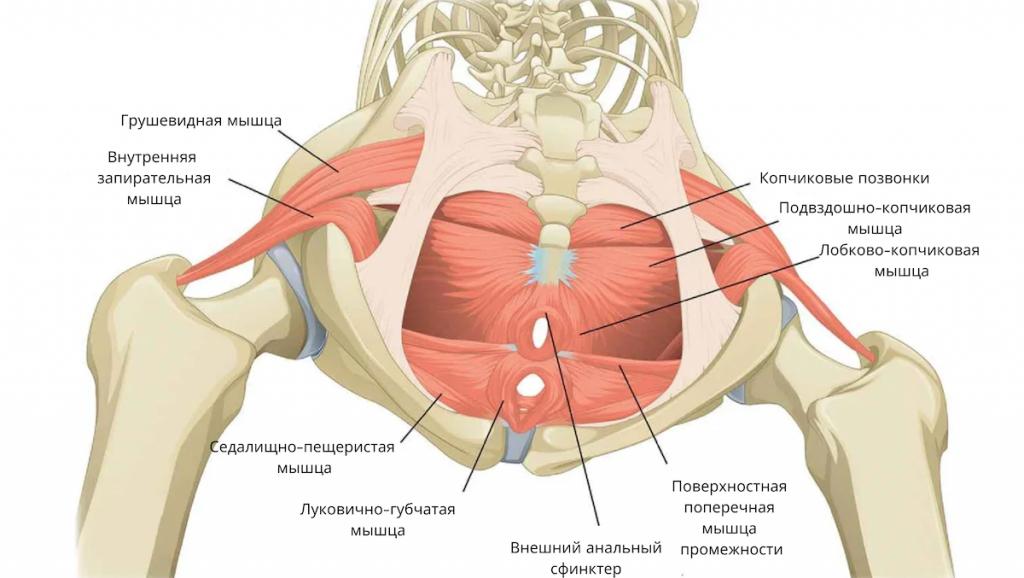 Анатомія м'язів тазового дна у жінок