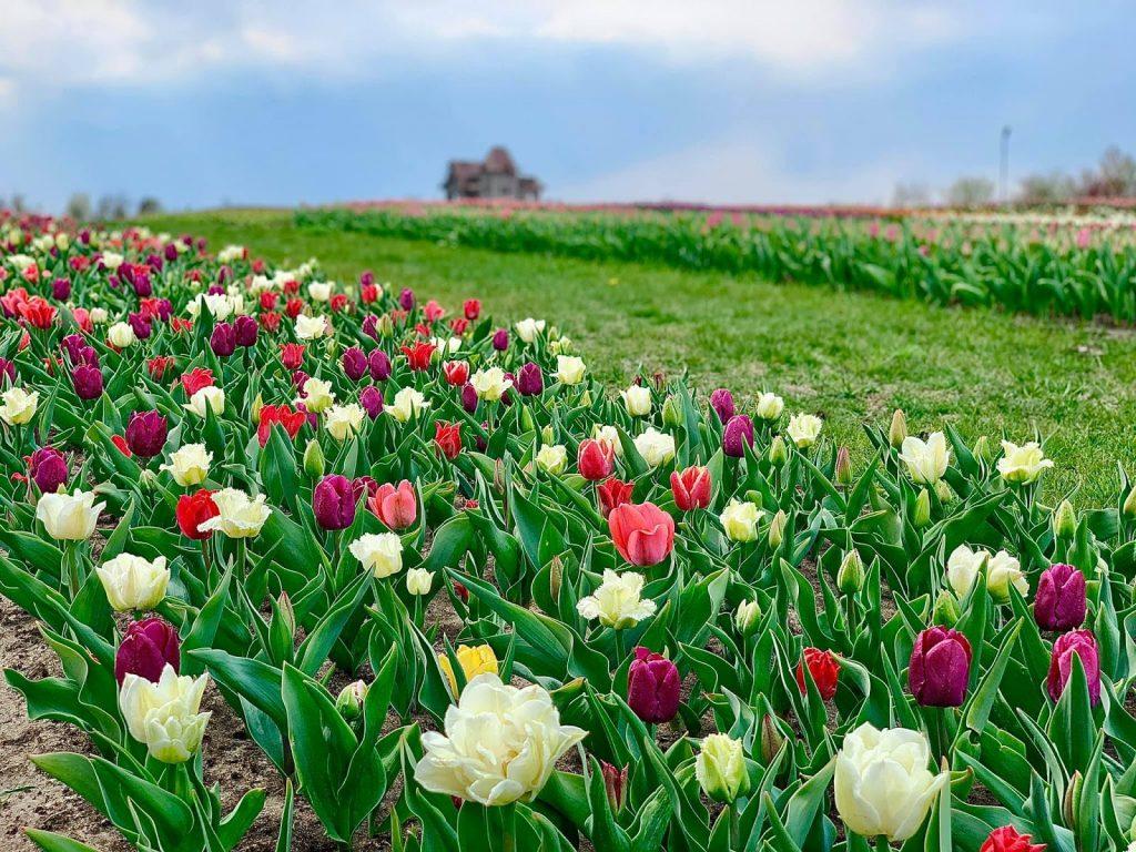 поле тюльпанов в добропарке