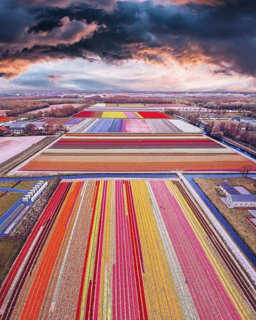 поле тюльпанів у добропарку