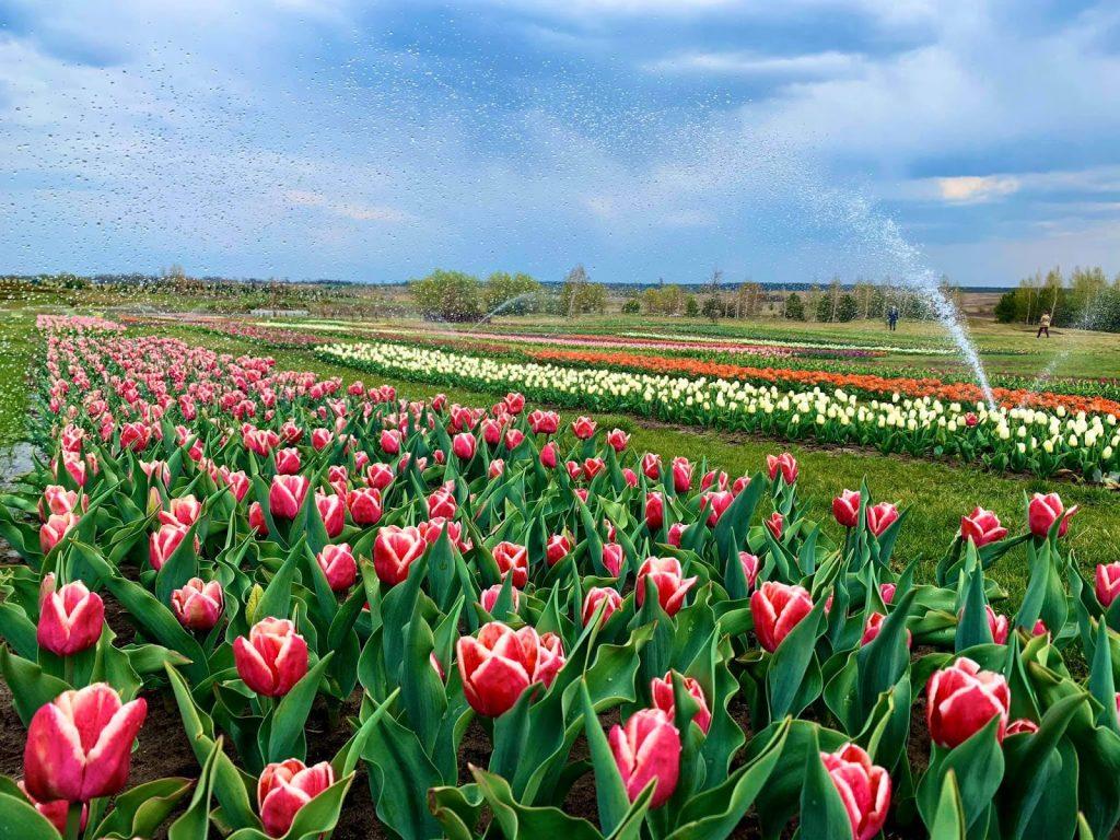 алея тюльпанів у добропарку