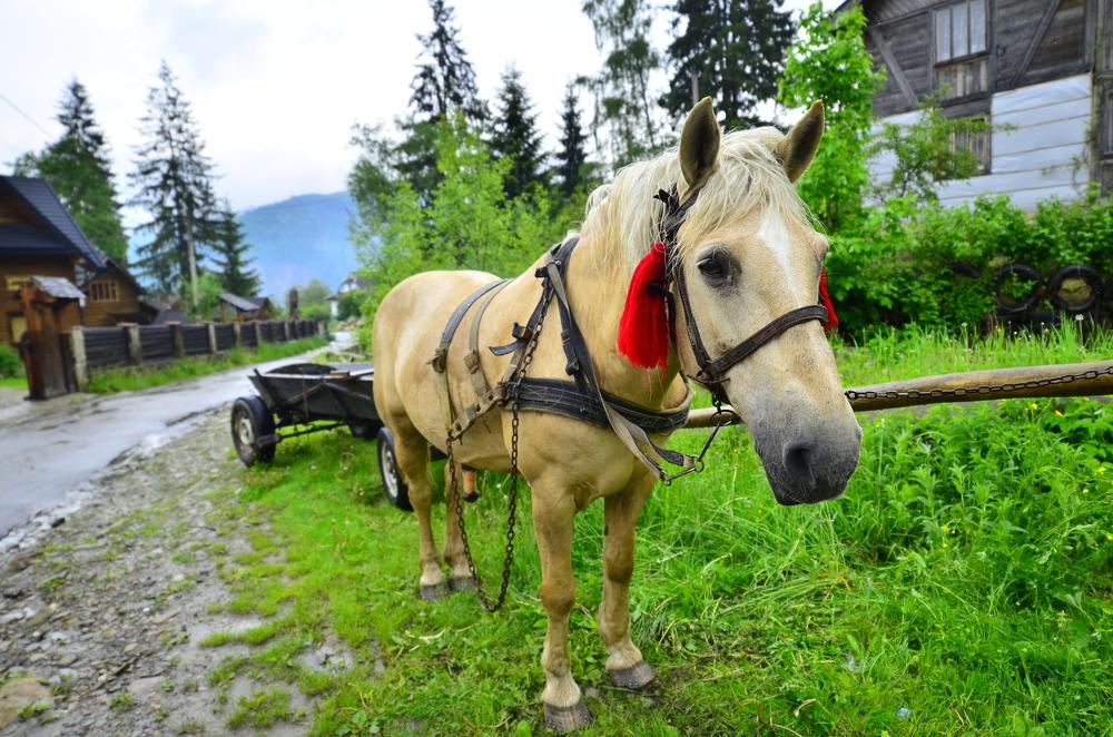 Карпати, Славське, прогулянки на конях