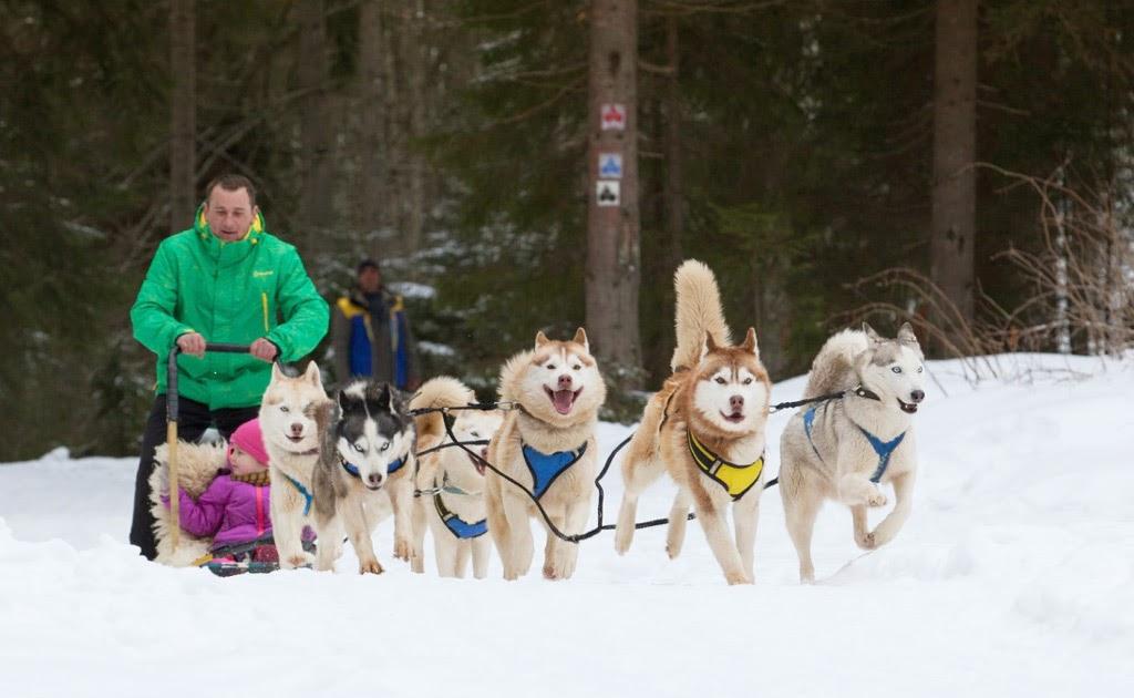Зимой туристы Буковеля могут прокатиться на собачьей упряжке