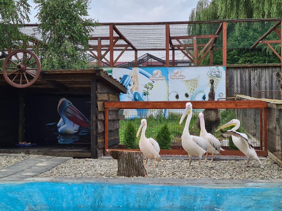 Пелікани, зоопарк «Лімпопо» в Меденичах, 30 км від Трускавця