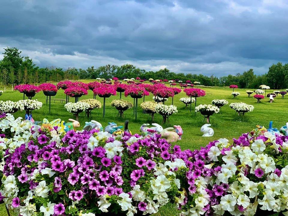 Сад петуній