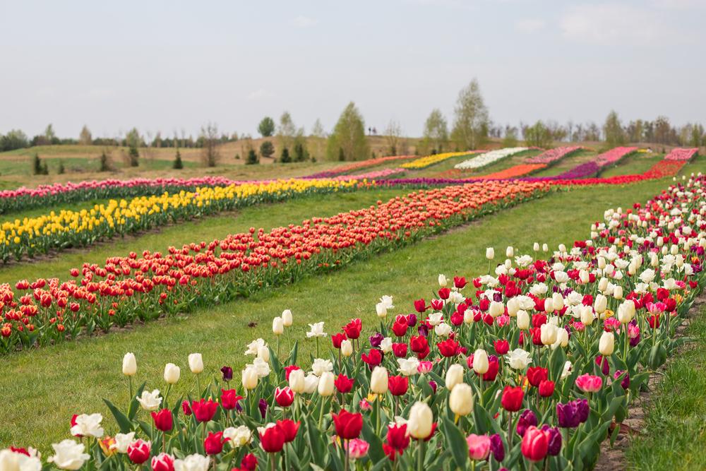 поле тюльпанів в Добропарку